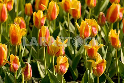 Желто - красные  тюльпаны на клумбе , снятые сверху, в парке