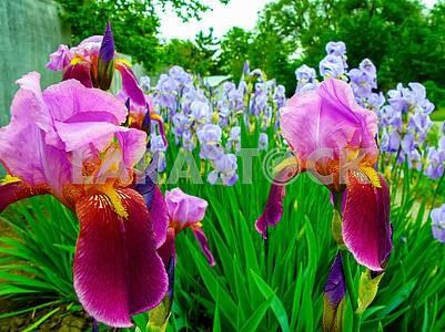Цветы ириса крупным планом