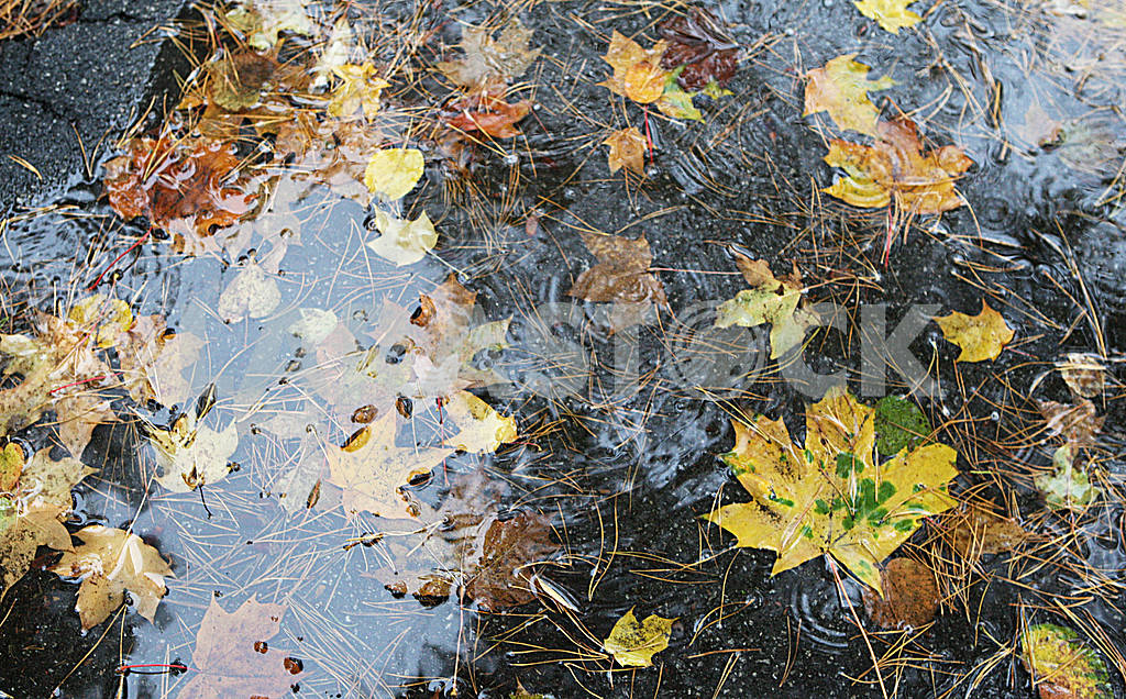 Maple leaves in a puddle — Image 39100