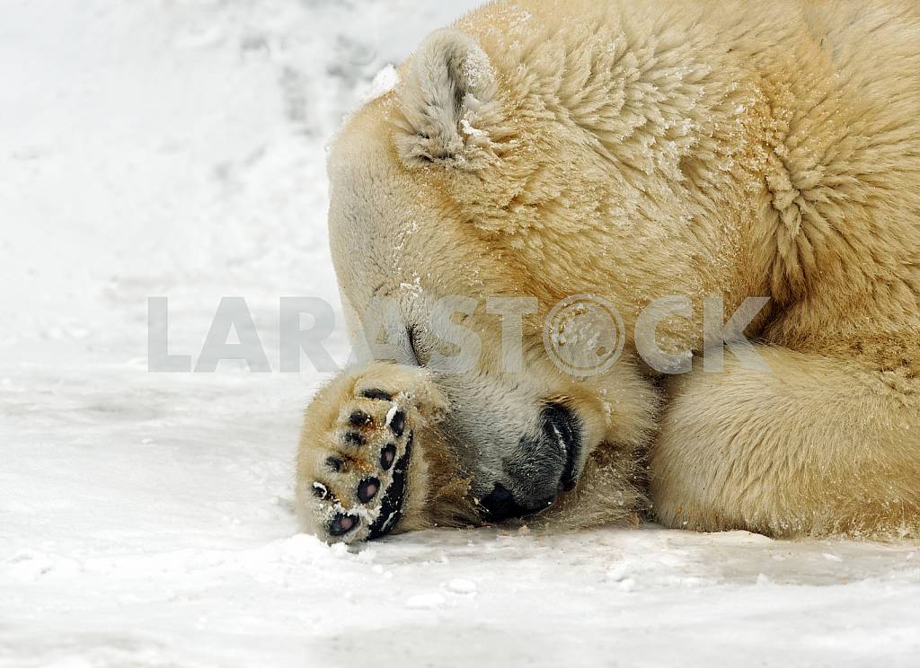 Polar bear in the winter in the north — Image 24510