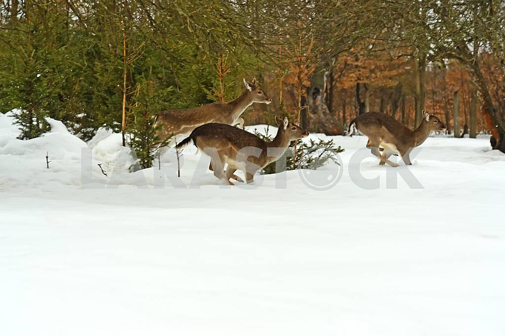 Deer — Image 24620