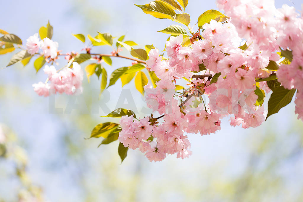 Cherry Blossom trees, Nature and Spring time background. Pink Sa — Image 70730