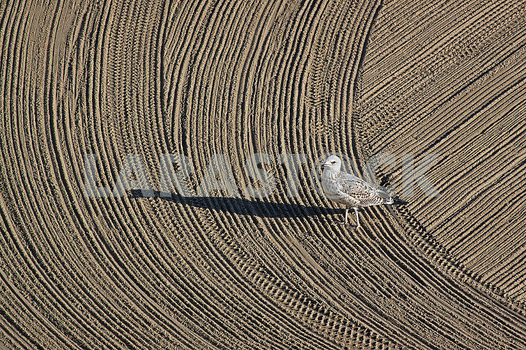 Lonely seagull on cleaned by a tractor sand on the Mediterranean — Image 67050