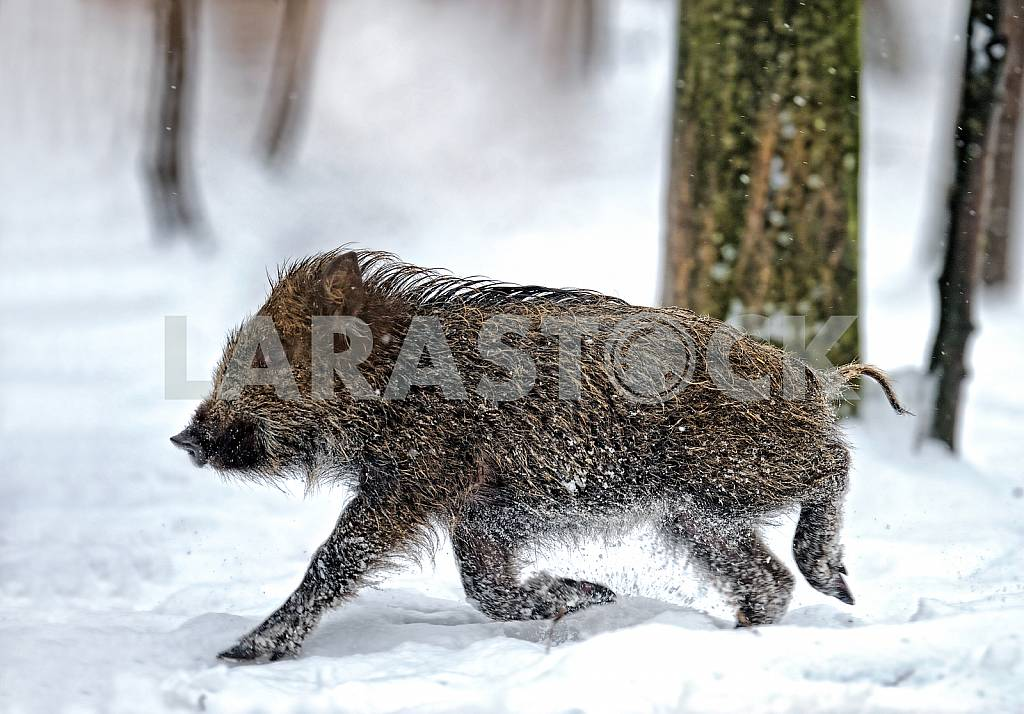 Wild boar running on the snow — Image 25580
