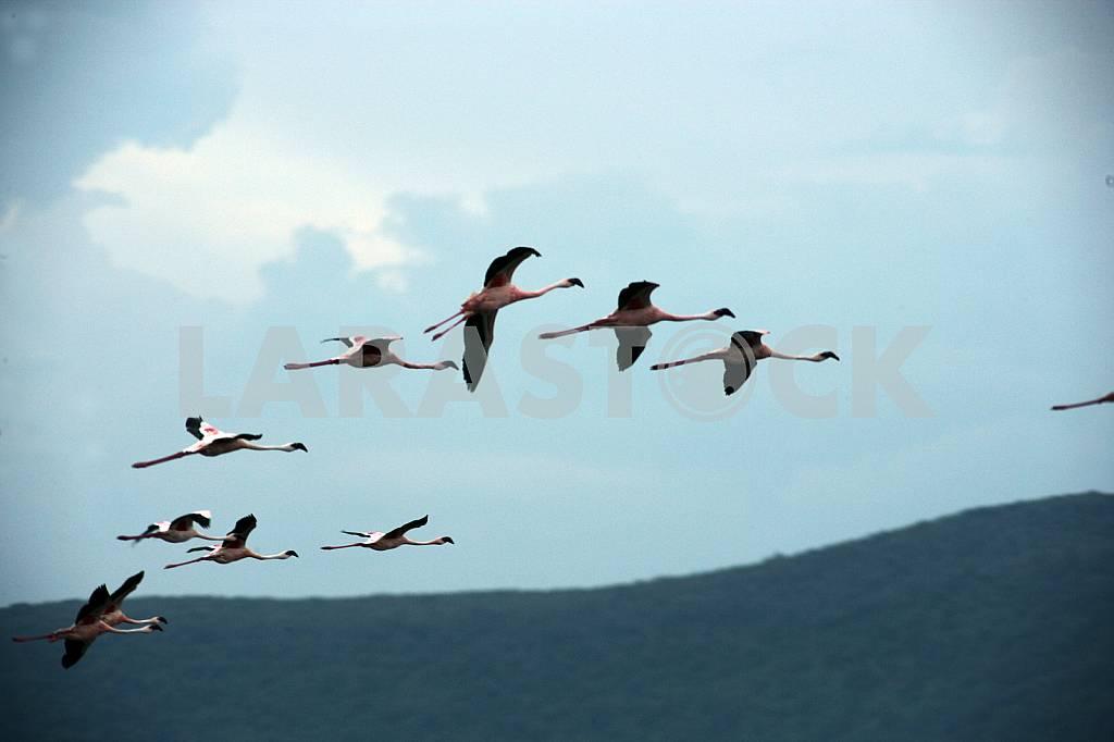 A flock of flying birds. Lake Baringo, Kenya — Image 37790