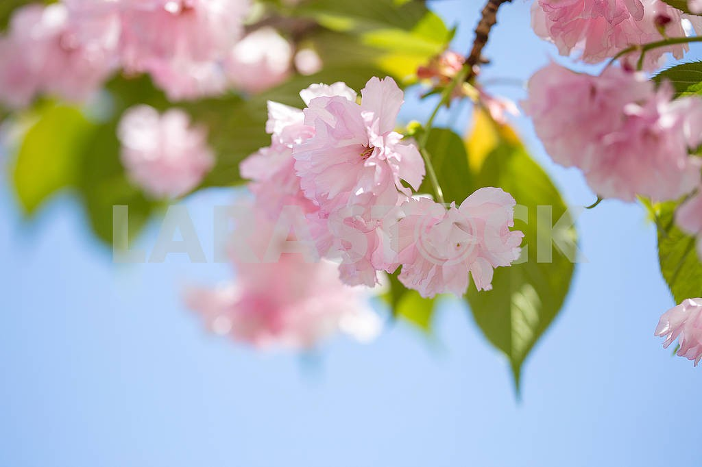 Cherry Blossom trees, Nature and Spring time background. Pink Sa — Image 70721