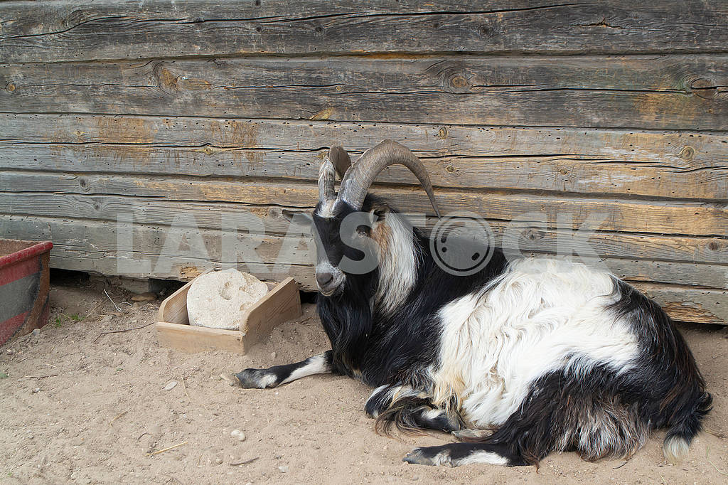 Long horn goat in organic animals farm — Image 83221
