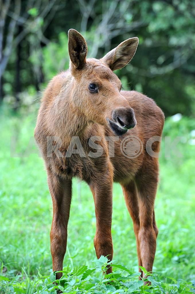 Elk calf — Image 25731