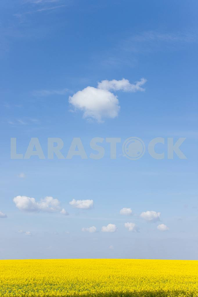 Canola Field under Blue Sky — Image 22591