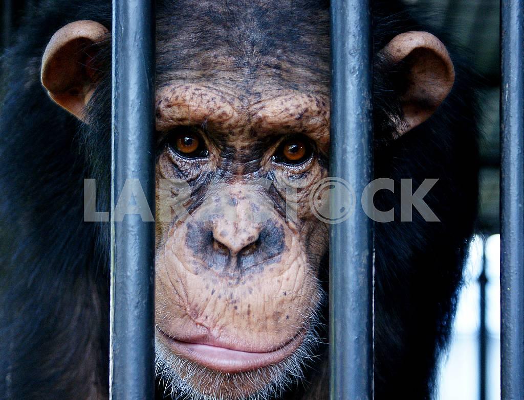 Portrait of a gorilla in a cage — Image 25842