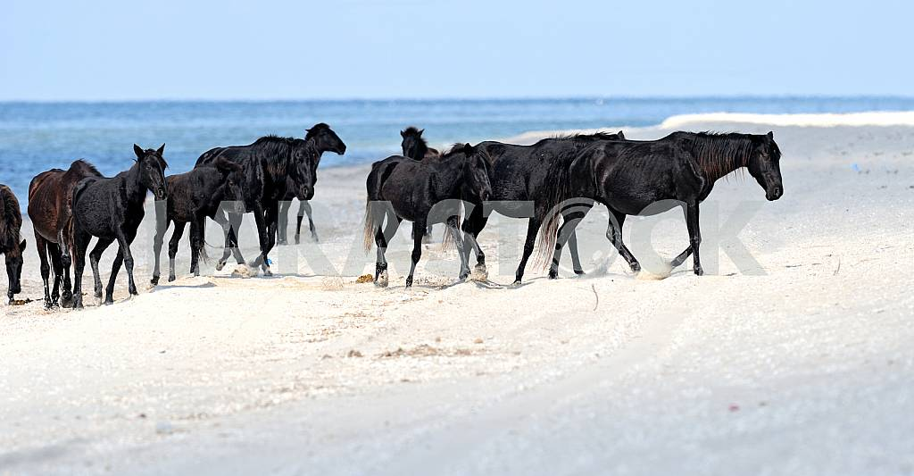 A herd of black horses on the beach — Image 25152