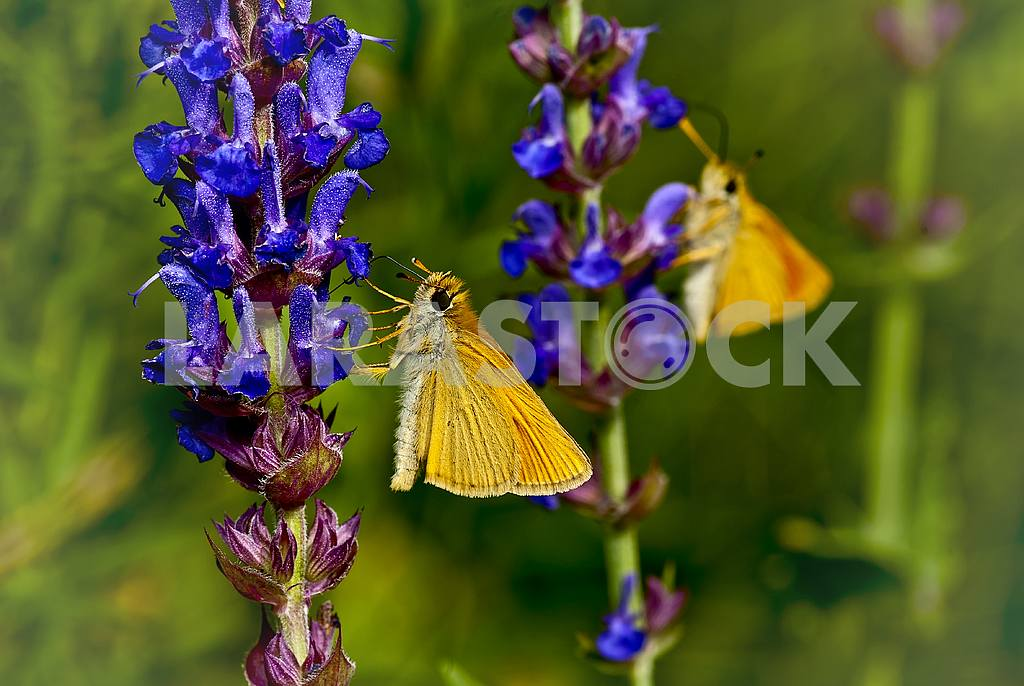 Two yellow butterfly on blue flowers. One in the field, the other - a reflection. — Image 32082