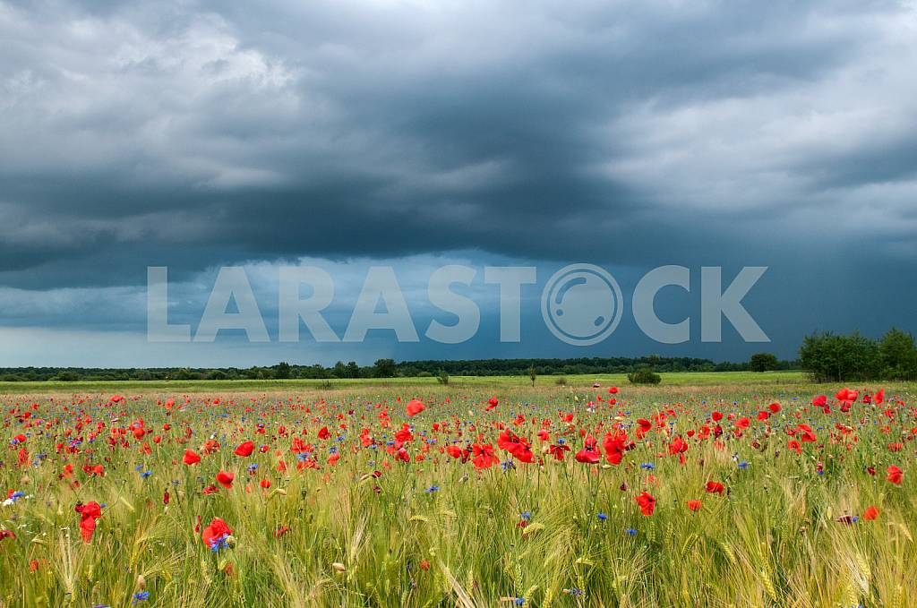 Barley Field of Poppies — Image 23192