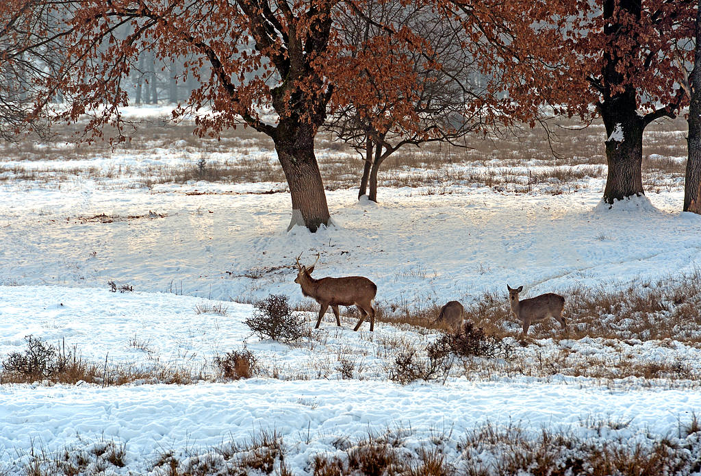 A herd of spotted deer in winter — Image 1603