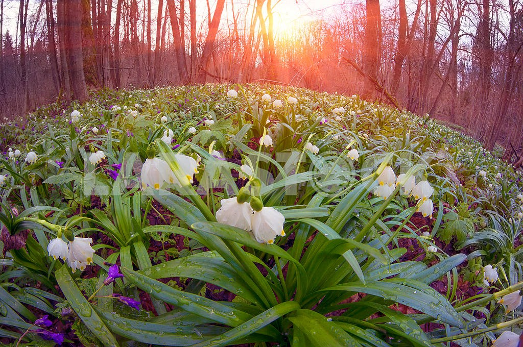 Snowdrops - spring flowers — Image 15003