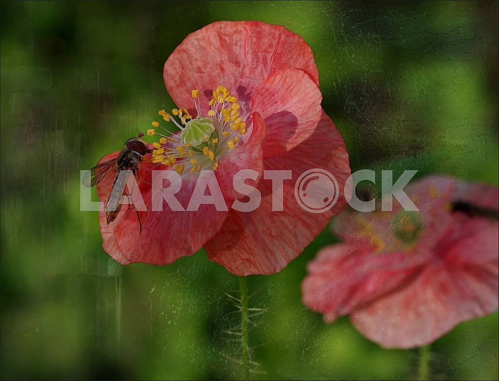 Two red poppies on a green background and zhurchalka- wasp. Treatment. — Image 31633
