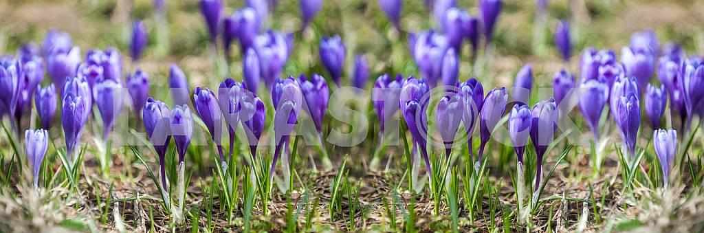 Шафран (Крокус)- род травянистых многолетних растений семейства касатиковых. — Изображение 26563