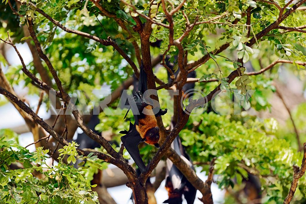 Flying foxes in the wild — Image 24483