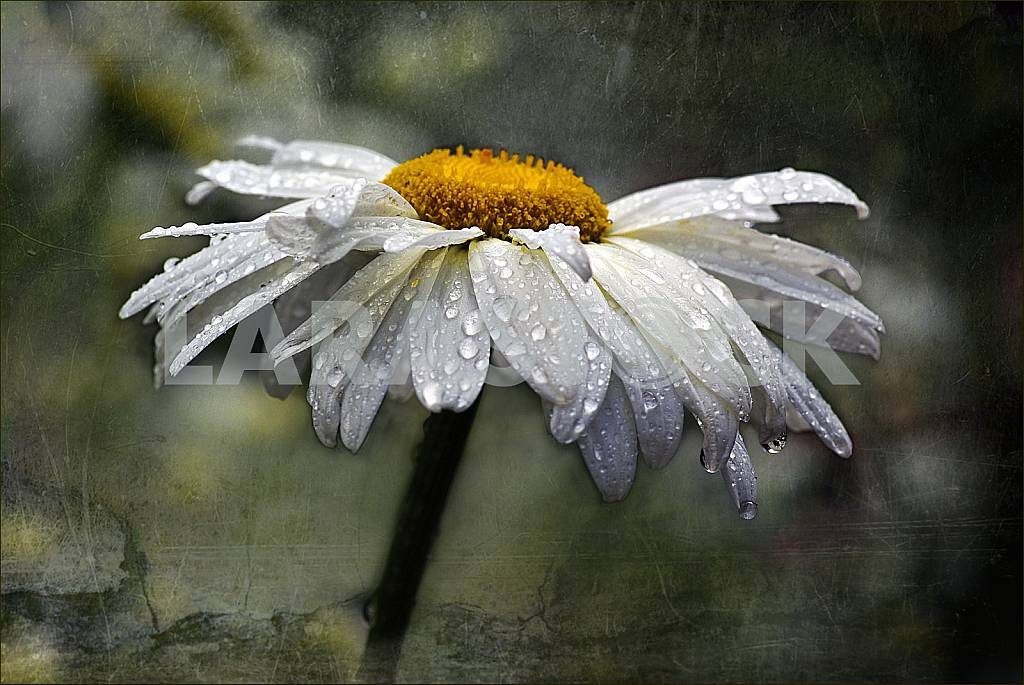 Camomile in drops of rain. Treatment. — Image 31583