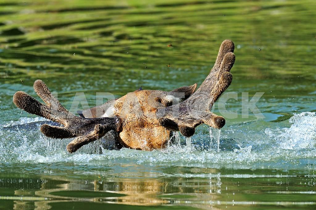 Elk floats. Back view — Image 25683