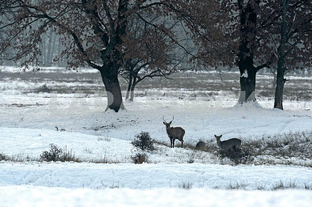 Стадо пятнистых оленей в зимний период — Изображение 23983