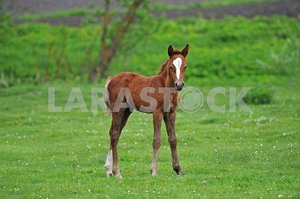 Foal in the meadow — Image 25383