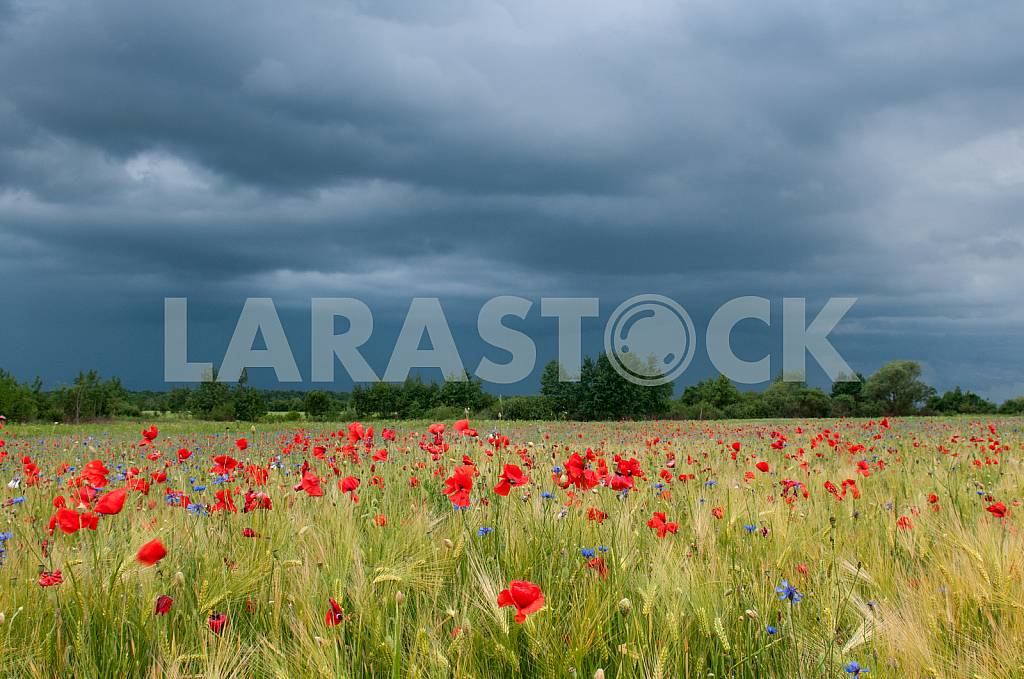 Barley field before the storm with bright blooming wild poppies — Image 23193