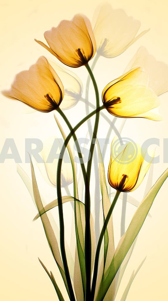 Yellow translucent tulips reflected by yellow light on a white wall — Image 81734