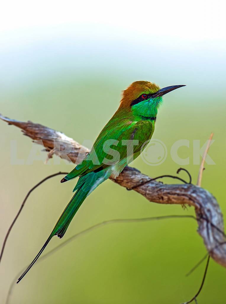 Bee-eater in the wild on the island of Sri Lanka — Image 24444