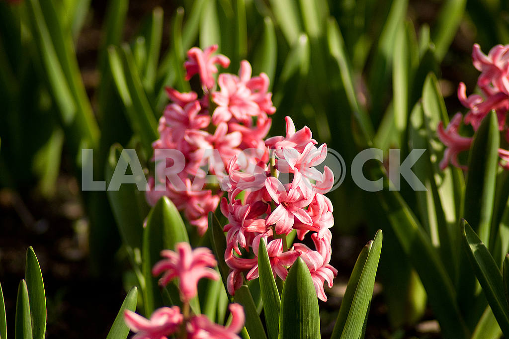 Hyacinth flower bed, flowers, spring, arboretum — Image 51844