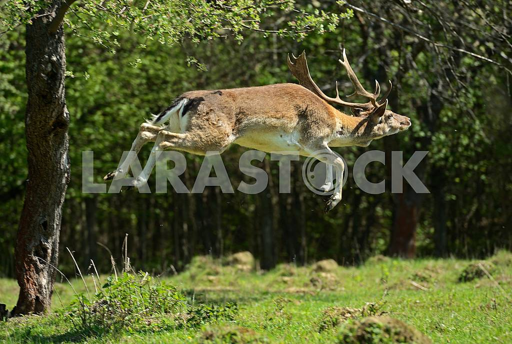 Deer jumping — Image 25654