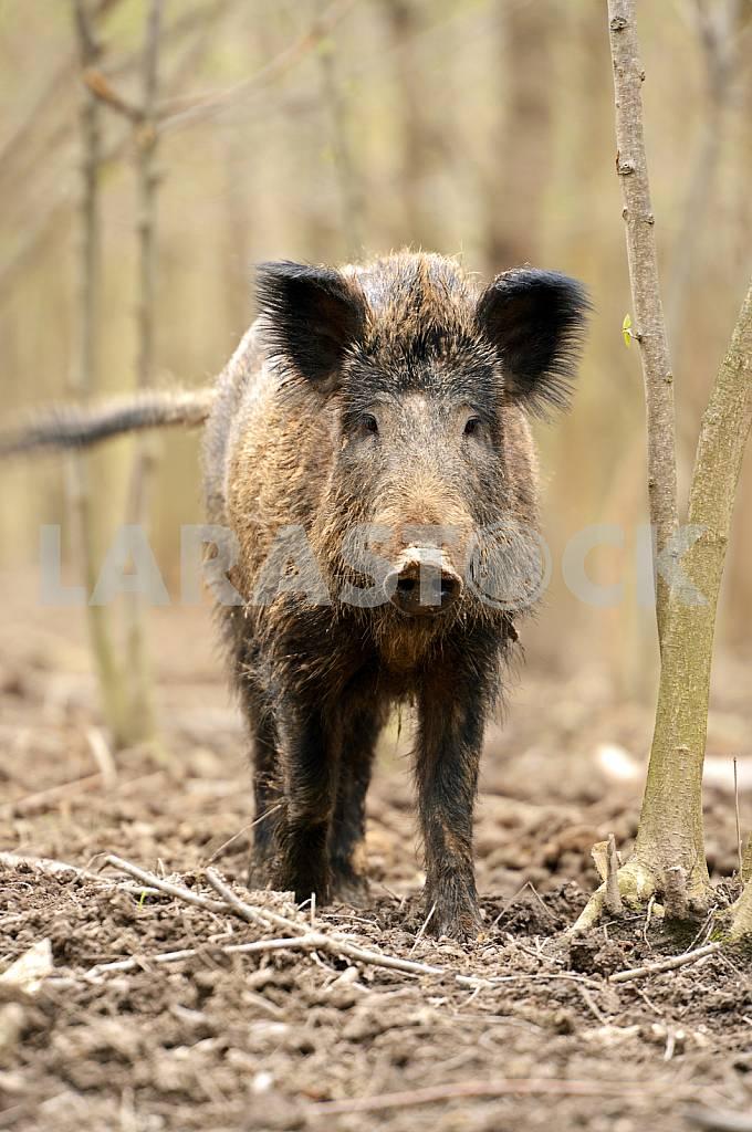 Wild Pig — Image 25574
