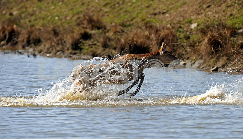 Deer emerges from the water — Image 25705