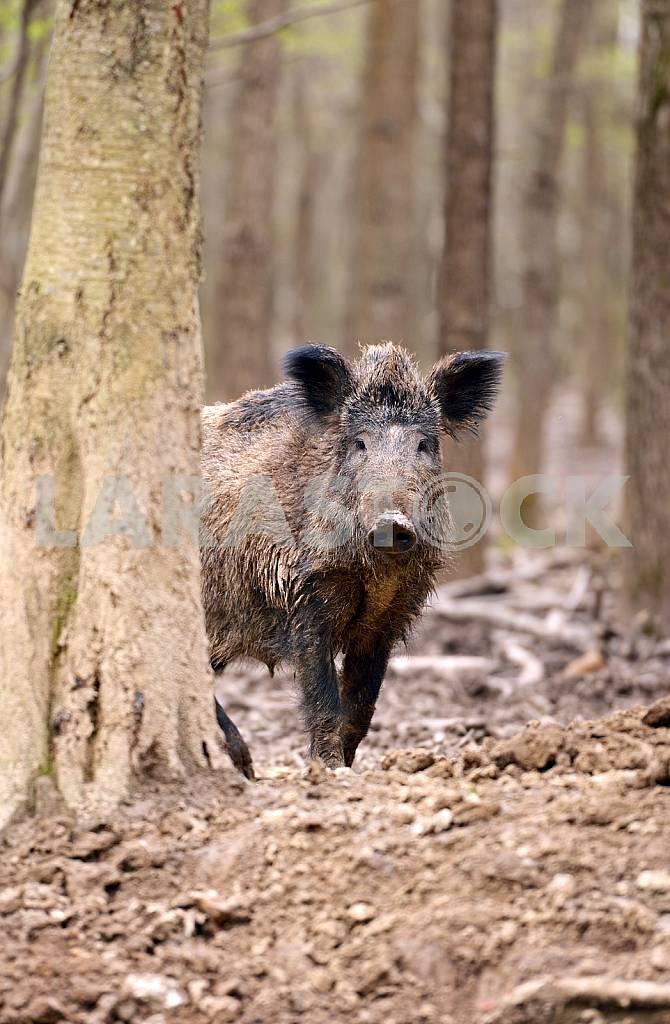Wild Pig — Image 25555