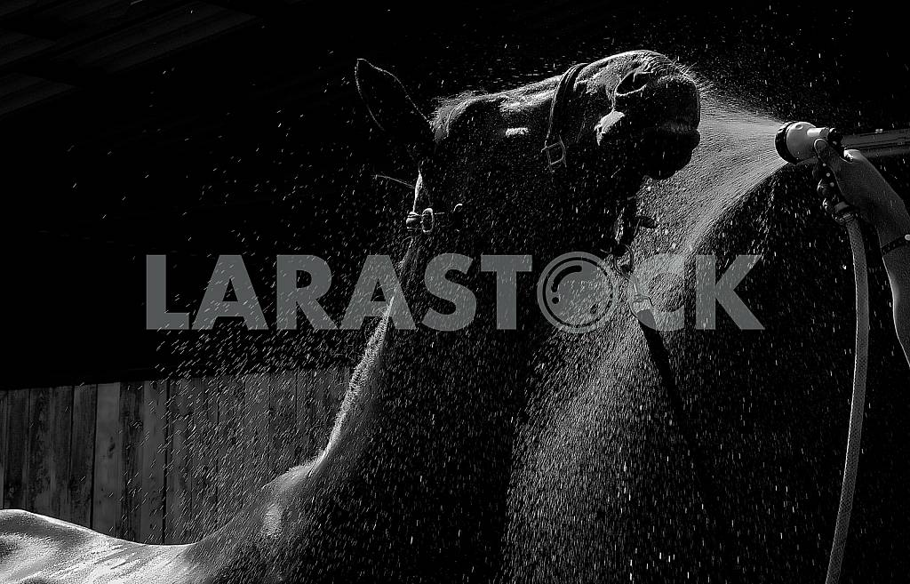 The head and back a horse in a stream of water from a hose. Black and white photo. — Image 31565