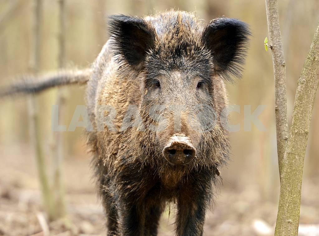 Wild boar closeup — Image 25575