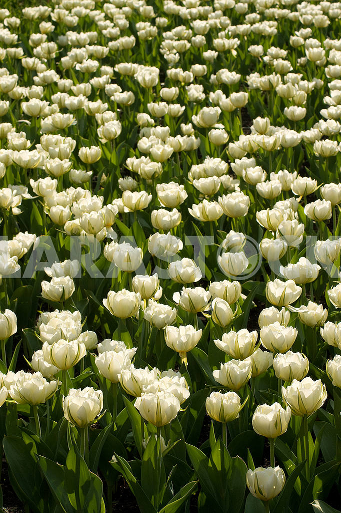 A flower bed of tulips, a lot of white beautiful tulips in the park — Image 51795
