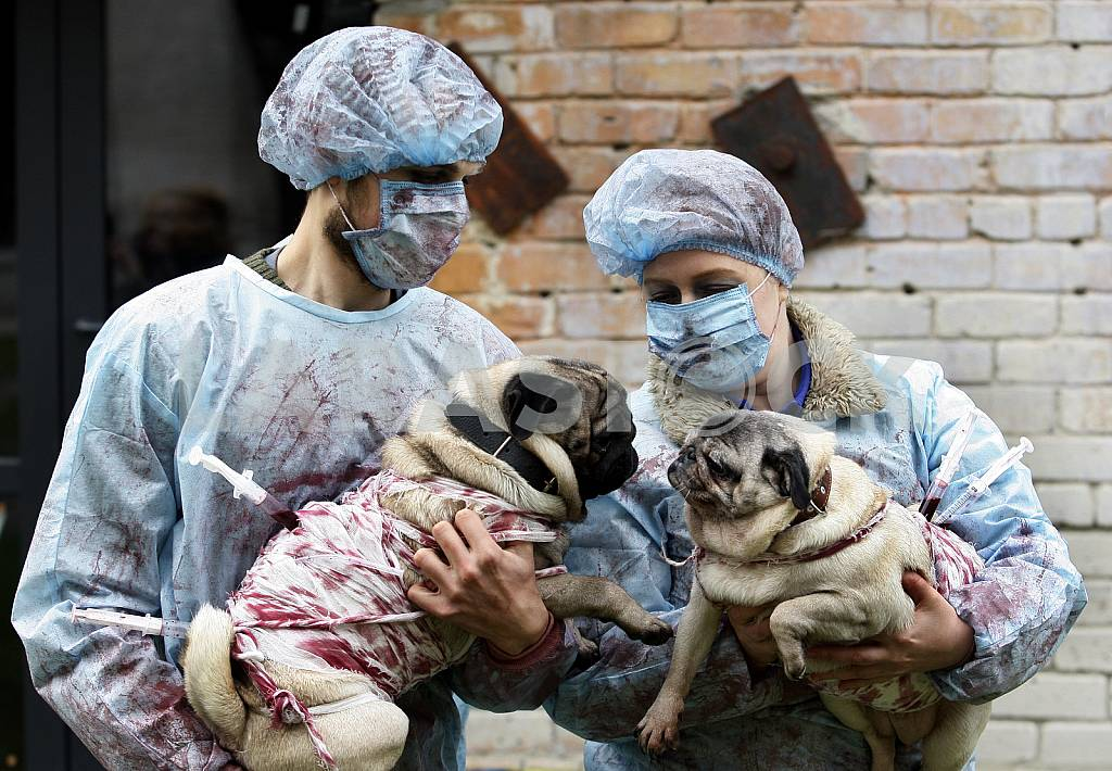 Couple dressed in medical gowns are holding two pugs — Image 42716