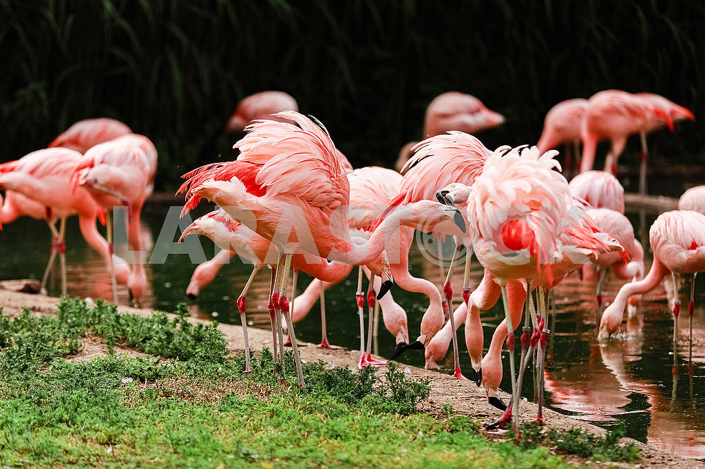 A group of pink flamingos hunting in the pond, Oasis of green in urban setting, flamingo — Image 80636