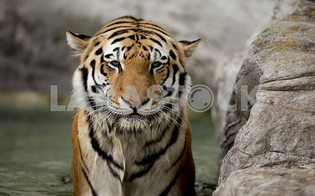 Sad tiger — Image 31646