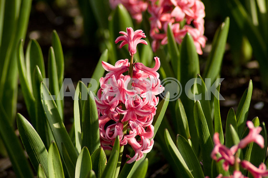 Hyacinth flower bed, flowers, spring, arboretum — Image 51846