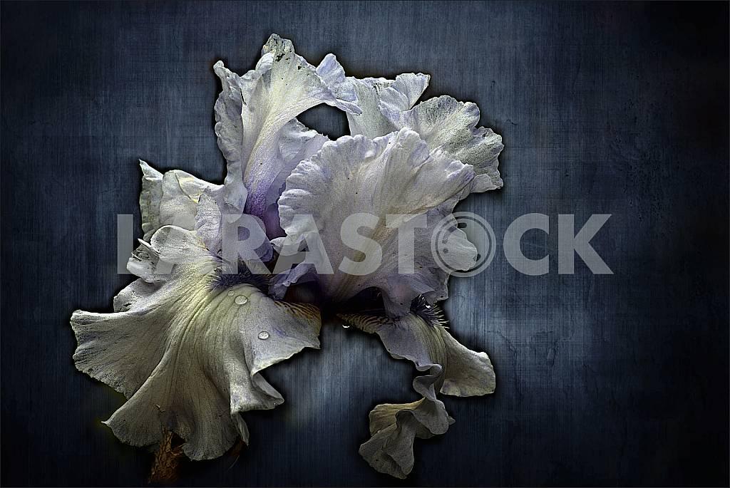 Цветок ириса с каплями дождя на синем фоне. Обработка. — Изображение 31456