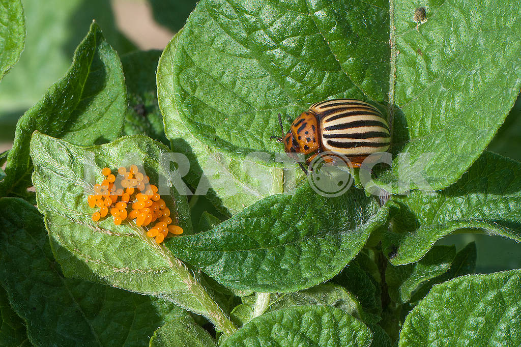 Colorado potato beetle (Leptinotarsa decemlineata) — Image 71566