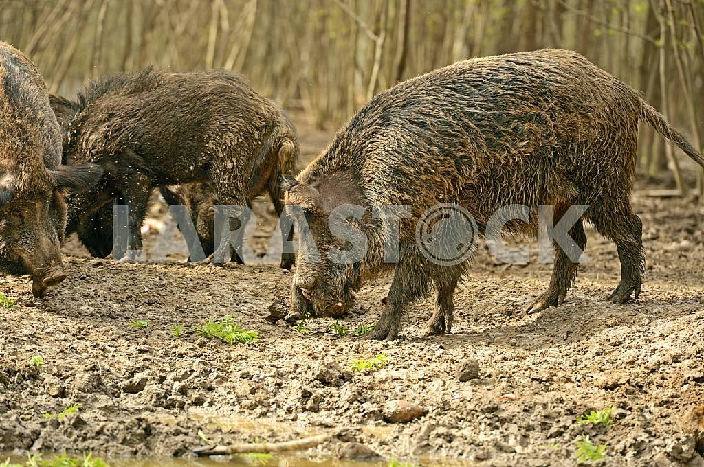 Wild Pig — Image 25566