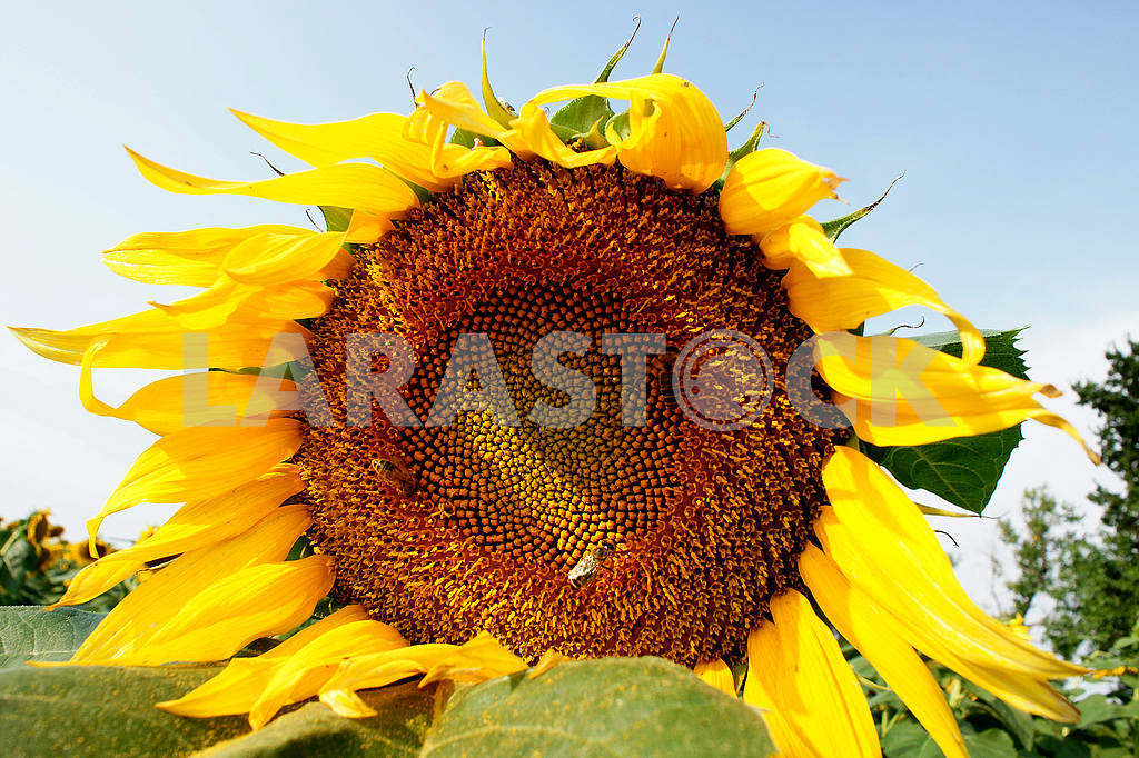Sunflower, close-up bee on sunflower — Image 51486