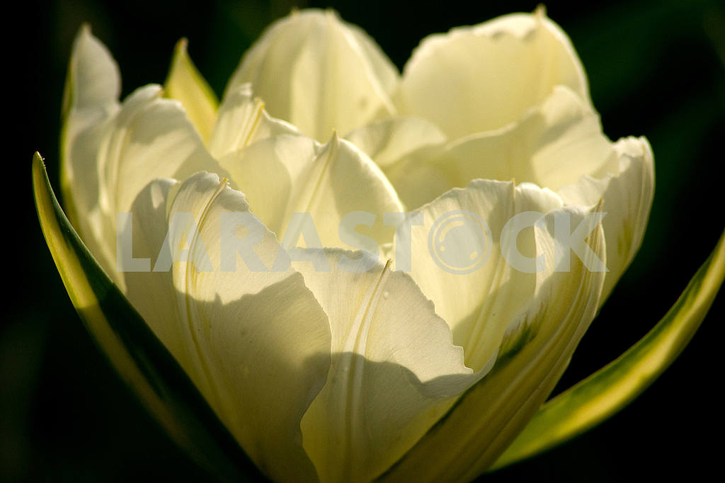 White tulip, shot close-up on a dark background — Image 51796