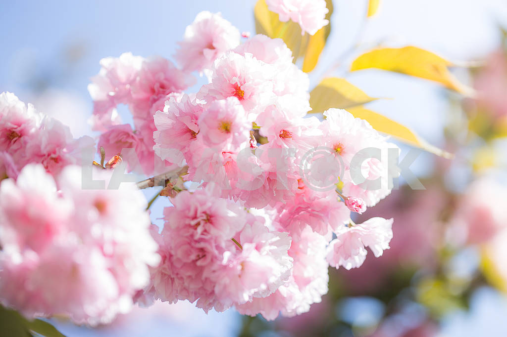 Cherry Blossom trees, Nature and Spring time background. Pink Sa — Image 70727