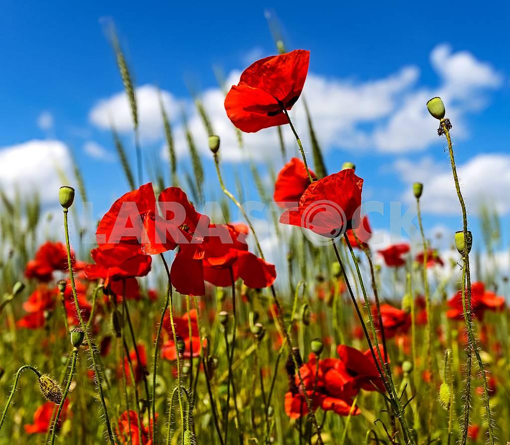 Poppy — Image 24127