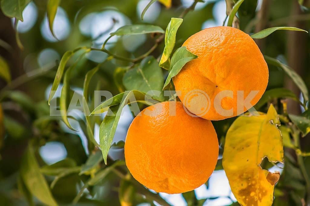 Oranges — Image 26457