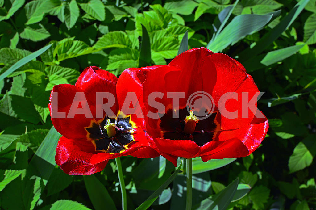 Blooming flowers of two red tulips — Image 70357